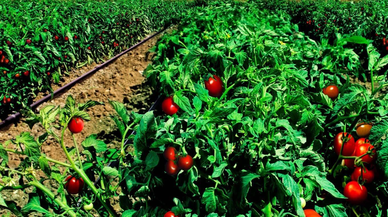 WP Tomatoes