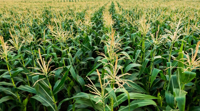 WP corn