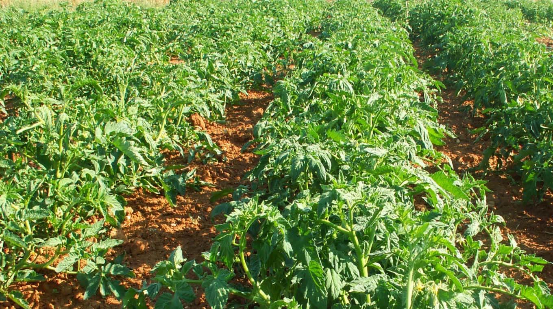 Wp Tomatoes Fertlity
